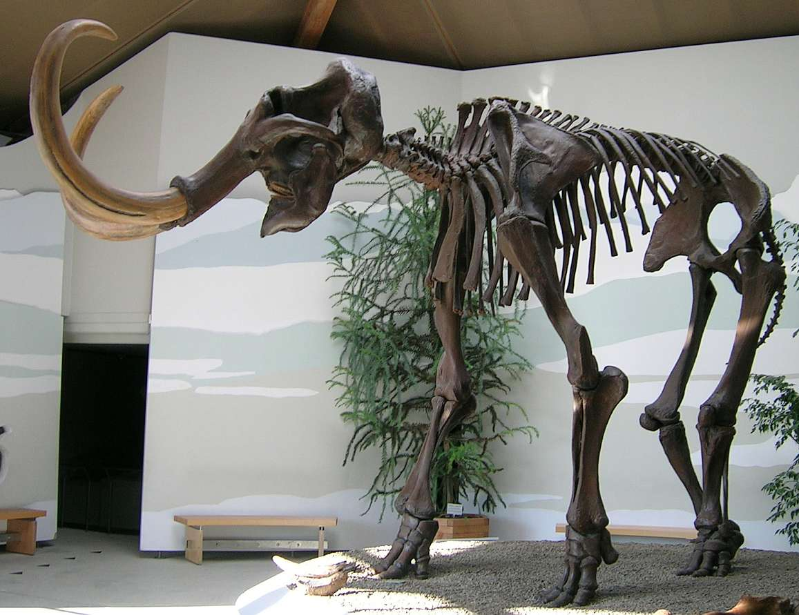 The largest European specimen of a Wooly Mammoth.
