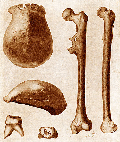 Original fossil bones of Pithecanthropus erectus (now Homo erectus) found in Java in 1891. (Click on image to view larger.)