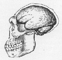 Illustration of Java Man scull. (Click on image to view larger.)