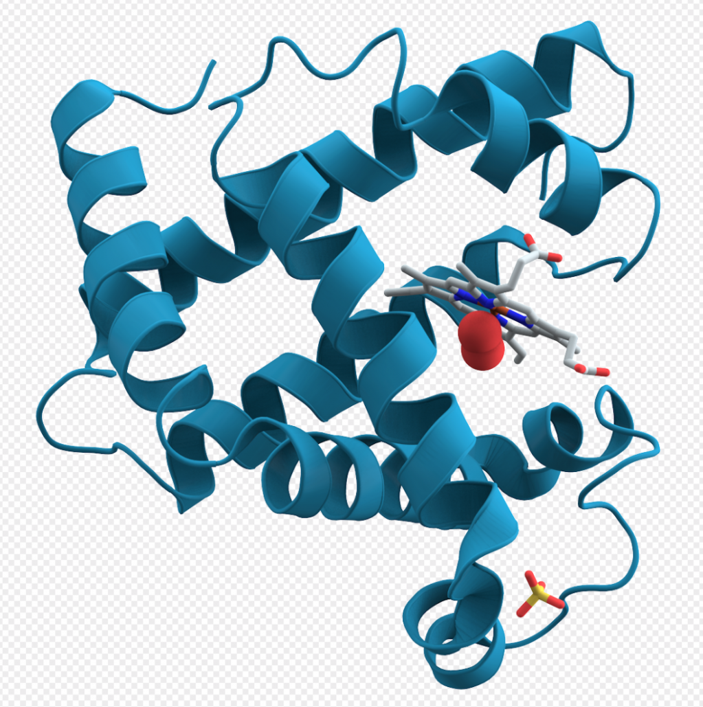Computer graphic of the 3D structure of Myoglobin