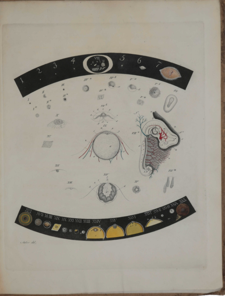 Plate from von Baer's book on the human ovum