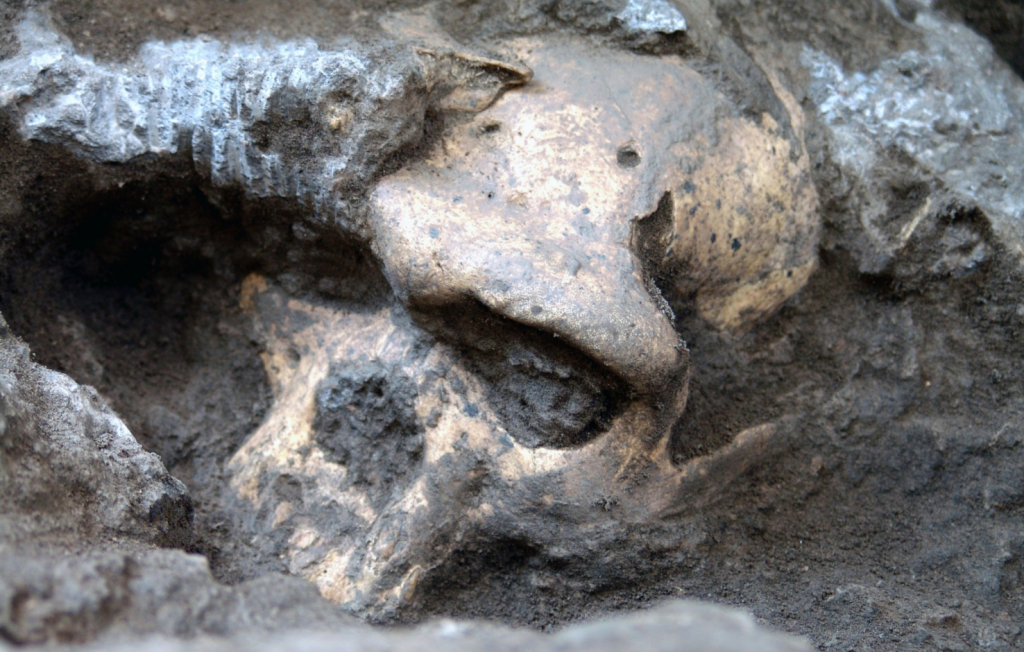 The 1.8-million-year-old skull found during a dig in the Republic of Georgia.