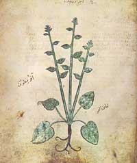 An illustration of illustration of the species 'Akoniton napellus,' folio 67v. (View Larger)
