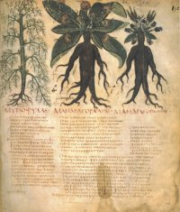 Folio 90v of the Naples Dioscurides, a description of the Mandrake. (View Larger)